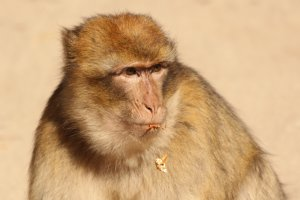De apen in het cederbos bij Azrou
