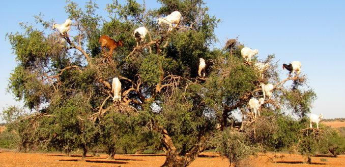 geitenboom