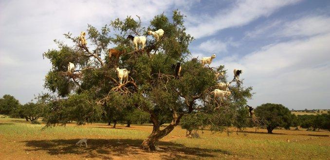 Boom vol met geiten!