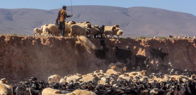 Herder in actie