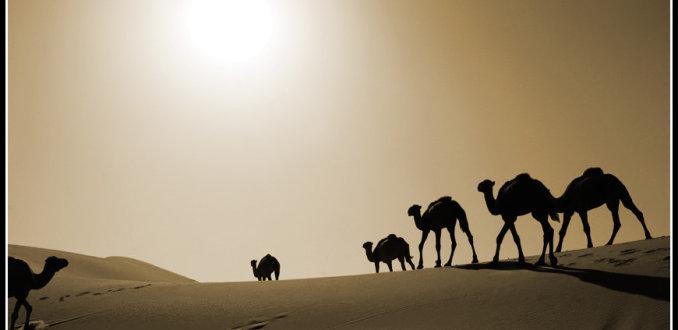 Camels..