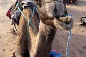 Herkauwende kameel