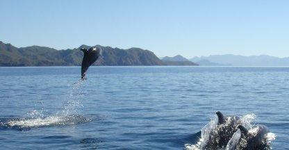 Vele dolfijnen van de Zee van Cortez