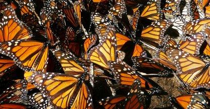 Monarchvlinders op overwintering in Mexico