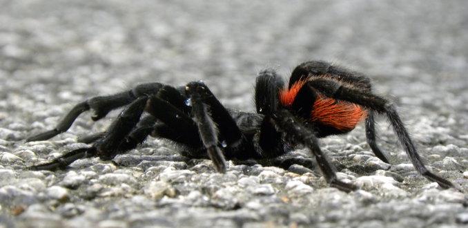 Overstekende spin...