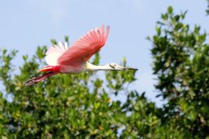 Spoonbill Bird @ Nationaal Park Sian Ka'an
