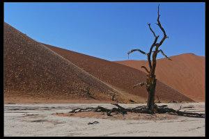 Eeuwenoude Kameeldoornboom