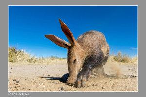 Aardvarken