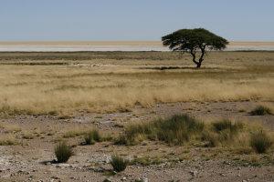 Typisch Afrikaanse boom