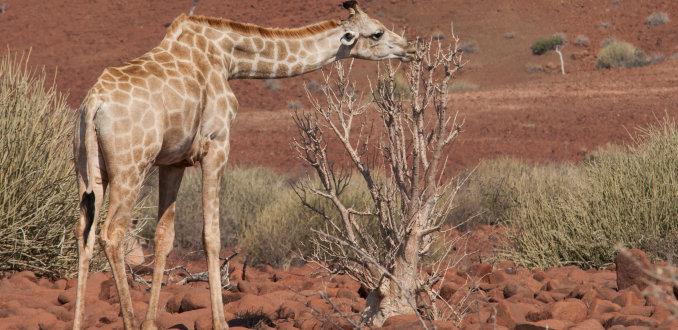 Giraffe in een rood landschap