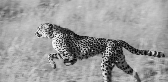 Cheeta in actie