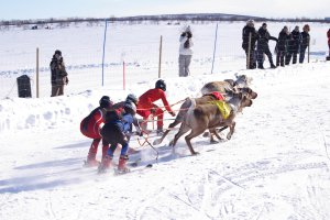 Rendierraces in Kautokeino in noord Noorwegen