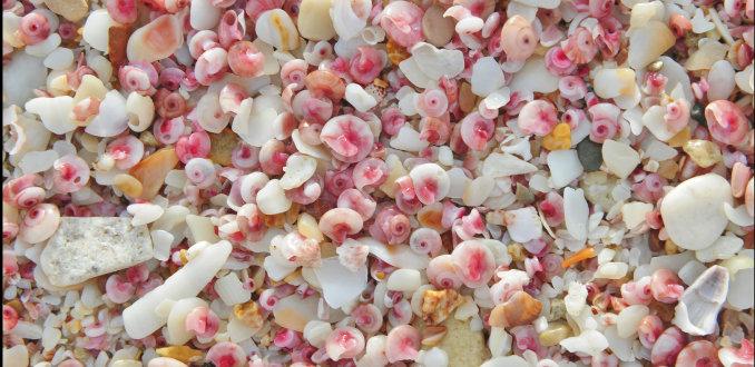 roze schelpen