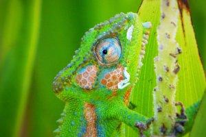 Dwergkameleon