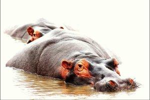 Bootsafari in St. Lucia: Nijlpaarden Spotten