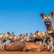 Op jacht met wilde honden
