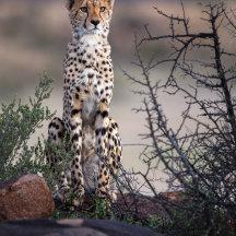laatste licht - cheetah