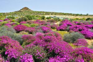 bloemen in Namaqualand