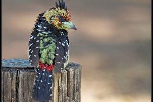 kuifbaardvogel