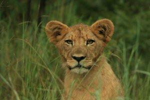 Jong oplettend leeuwtje