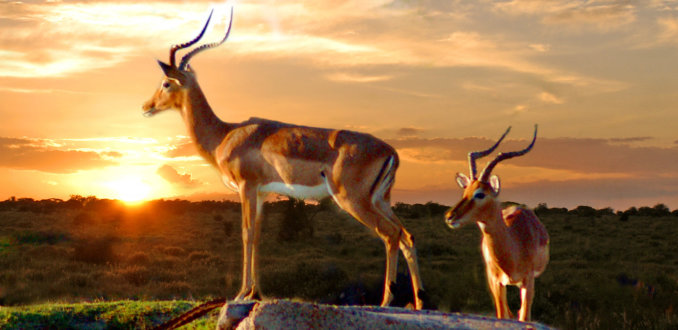 Impala's in het zonlicht