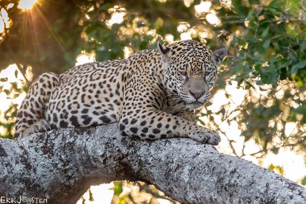 De boom in met die Jaguar