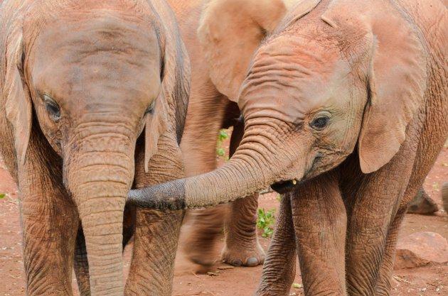 Opvang voor de olifanten