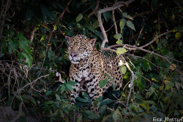 King of the Jungle II