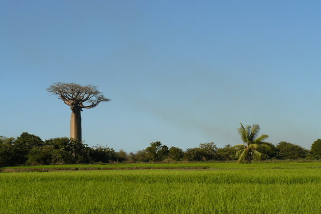 Baobabs met rijstveld