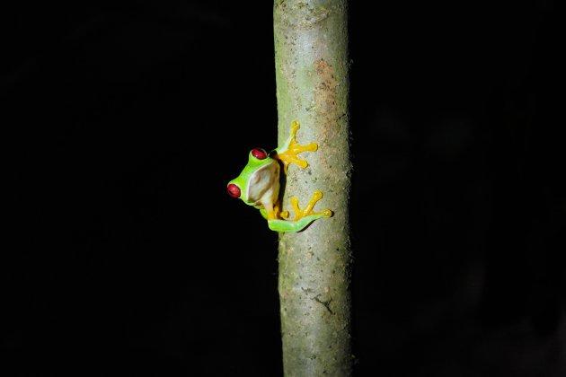 Roodoog boomkikker in Costa Rica
