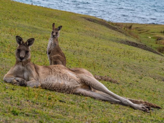 Relaxende kangoeroes