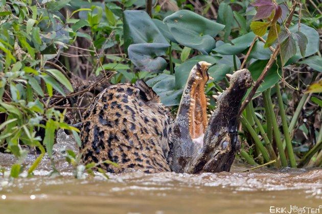 Jaguar vs Kaaiman