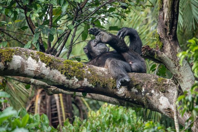 Bezoek de chimpansees en respecteer hun gebied.