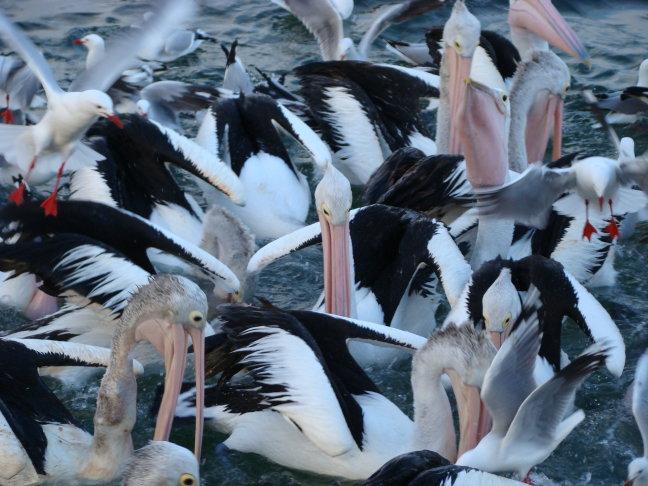 Pelikanen op Kangaroo Island