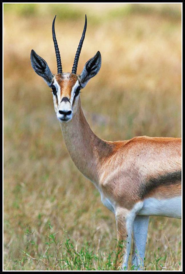 antilope!