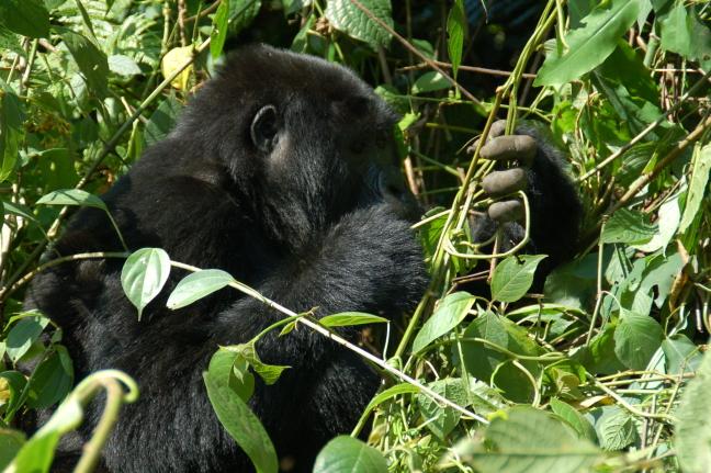 Berggorilla in Nkuringo