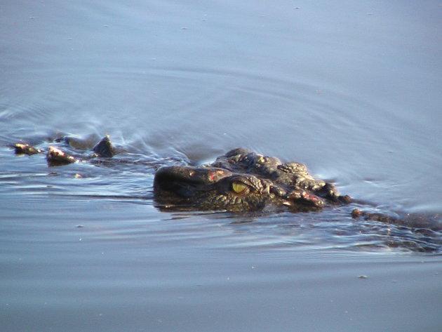 Crocodile Yellow Waters