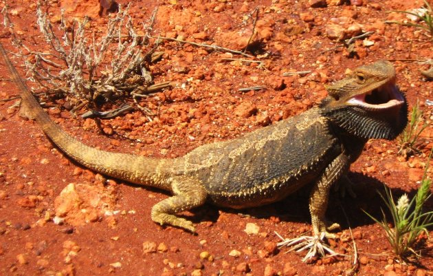 Lizard in The Outback