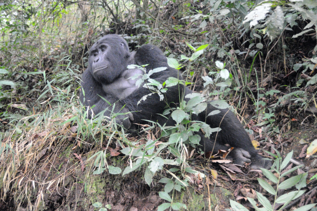 Gorilla model