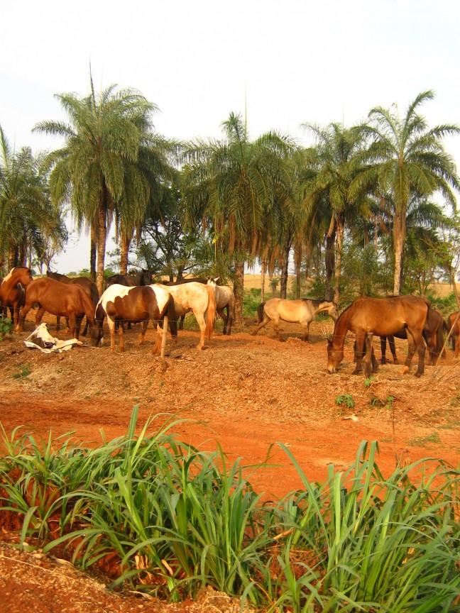 Wilde paarden in Pirassununga