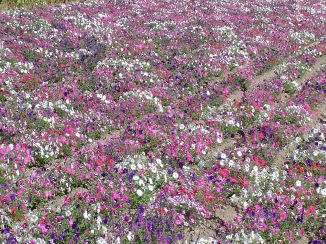 Bloemenveld naar St.Remy de Provence