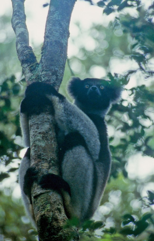 Starende Indri