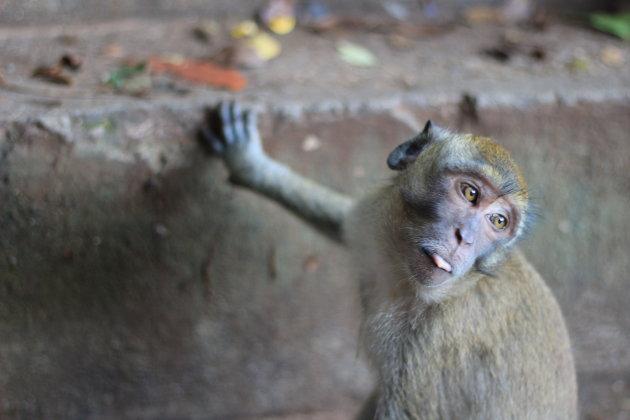 Aap bij de Tiger Cave Tempel