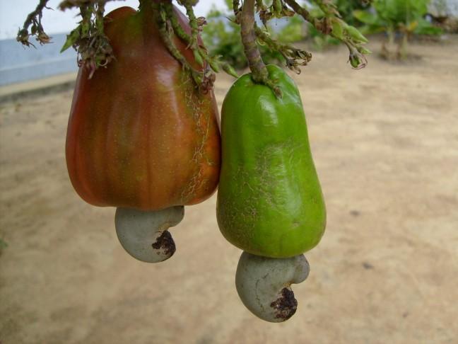 cashewnotenboom
