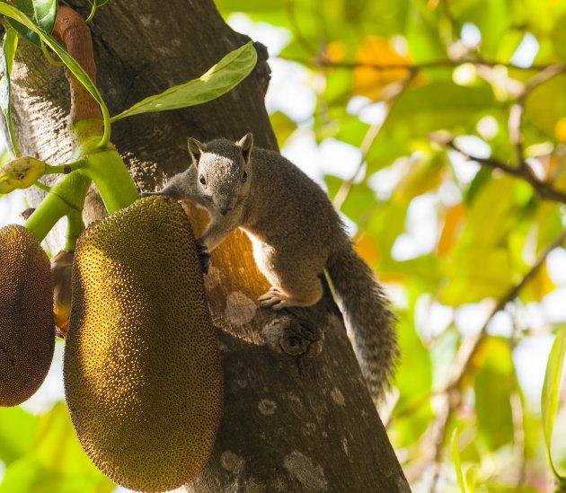 jackfruit met eekhoorn