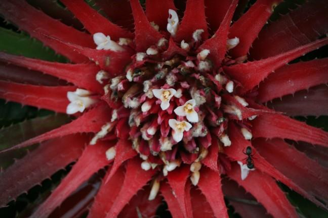 Cactusbloem Chapada Diamantina