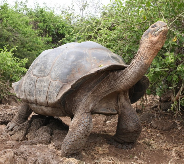 galapagos landschildpad