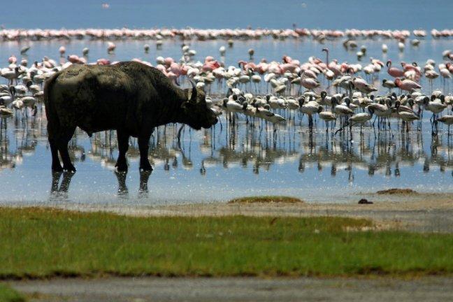 Buffel en flamingo's