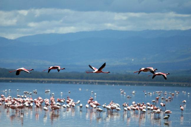 Flamingo's in vlucht