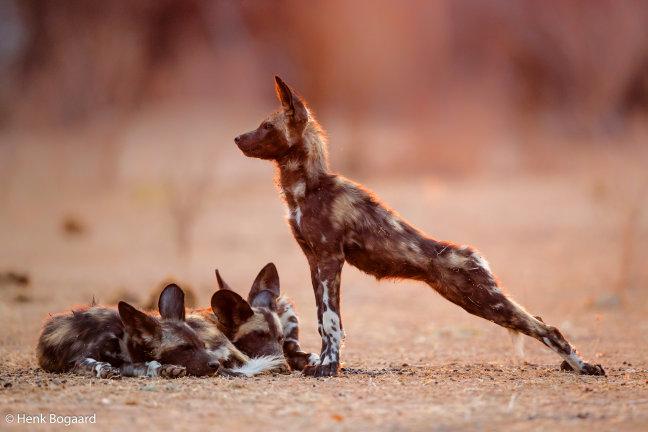 Wilde honden pups ontwaken bij zonsopkomst in Mana Pools - Zimbabwe